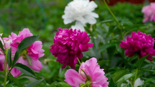 vidéos et rushes de fleurs de pivoine coloré - composition florale