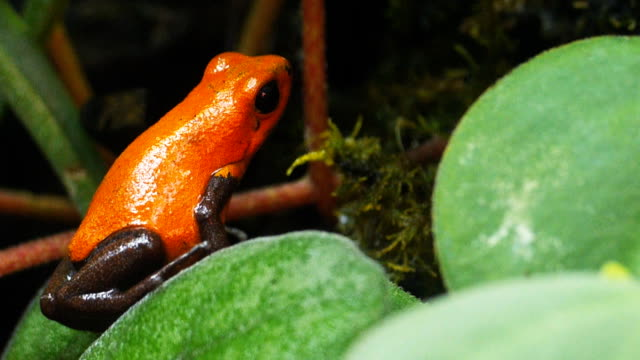 colorful poison dart frog a strawberry poison dart frog (Ooehaga pumilio) hops out of shot frog stock videos & royalty-free footage