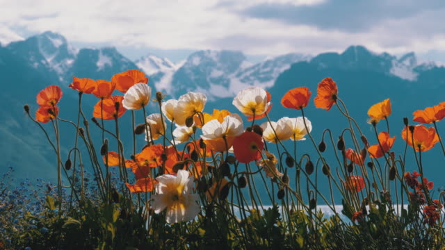 vídeos y material grabado en eventos de stock de amapolas coloridas contra las montañas alpinas y el lago de ginebra en suiza. embankment en montreux - amapola planta
