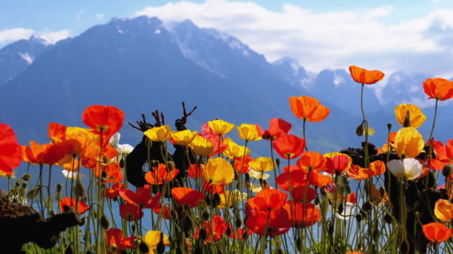 Colorful Poppies against Alpine Mountains and Lake Geneva in Switzerland. Embankment in Montreux