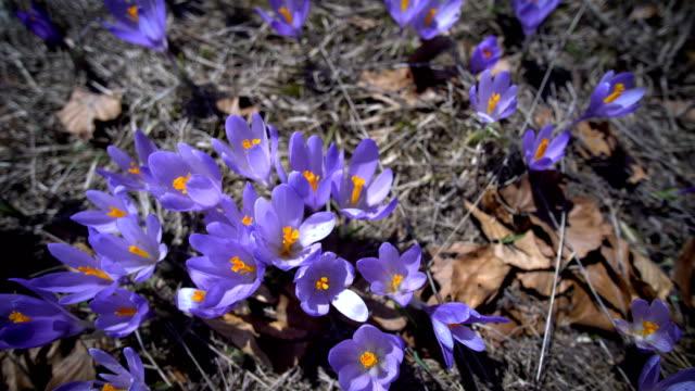 vídeos de stock, filmes e b-roll de flores corcus roxo colorido no final do inverno - flor temperada