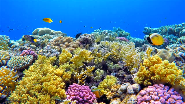 colorful sea life coral reef with lot of fisch on red sea - subacqueo video stock e b–roll
