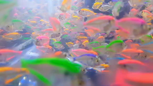 カラフルなシャムガラス-魚色自然リラックスペットホーム淡水水族館 ビデオ