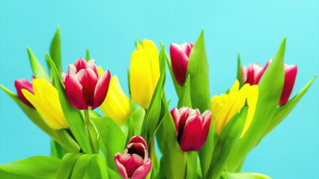 Colorful spring tulips growing in time lapse video