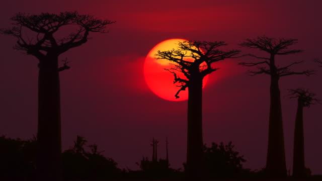 farbenprächtigen sonnenuntergang mit baobab - affenbrotbaum stock-videos und b-roll-filmmaterial