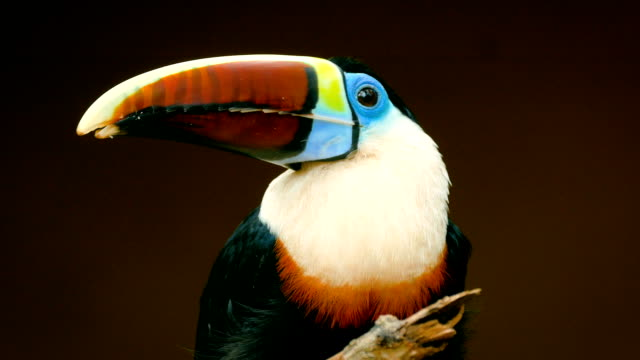Colorful Toucan standing on tree in a nature resort. Tropical birds in the Amazon jungle.