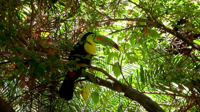 HD: Colorful toucan
