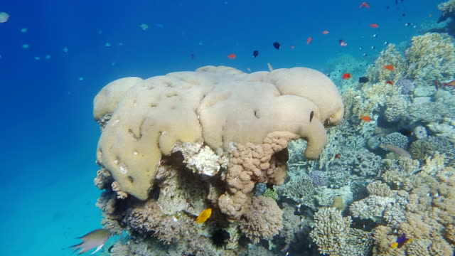 Colorful tropical fish and coral reef on gulf of aqaba video