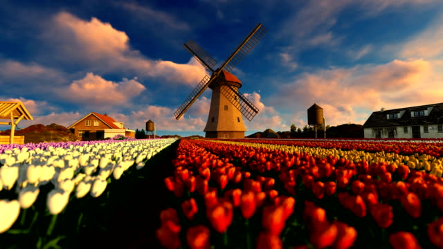 Colorful Tulip Field And Old Wind Mill Colorful Tulip Field And Old Wind Mill tulip stock videos & royalty-free footage