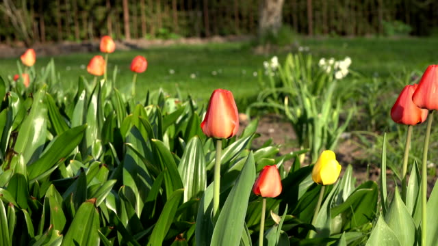 colorful tulip flowers grow in sunny spring park, garden. video