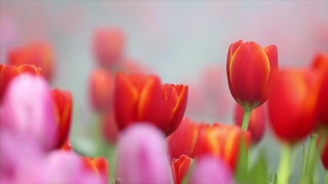 stockvideo's en b-roll-footage met kleurrijke tulp tuin in chiang rai, thailand. - fresh start yellow