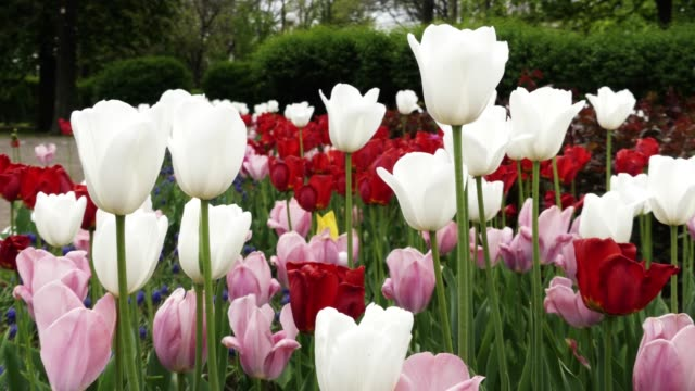 Colorful tulips in the park or garden. Spring landscape.