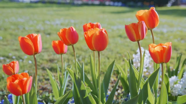 colorful tulips. tulips in spring, colourful tulip video