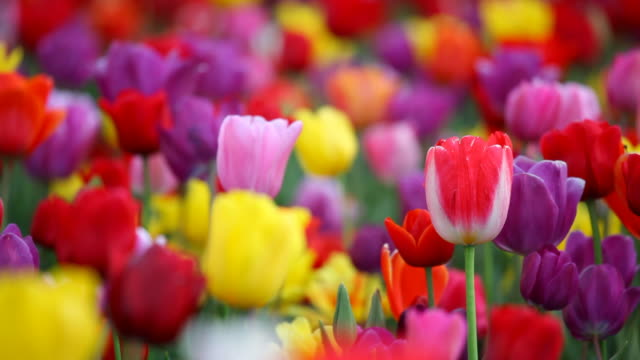 HD colorful tulips video