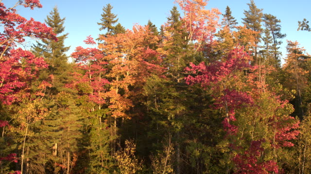 AERIAL, CLOSE UP: Colorful turning leaves on deciduous trees in mixed forest – film
