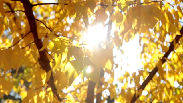 colorful yellow autumn leaves at daylight sky with sun flare rays. - albicocco video stock e b–roll