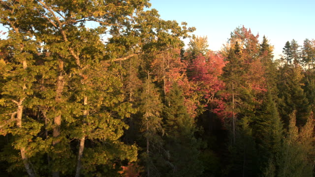AERIAL: Colorful yellow, orange and red turning leaves in mixed autumn forest