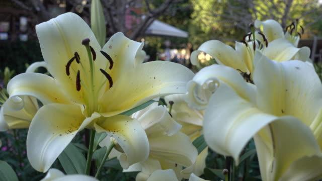 colorfull of lily flower in garden - lilia filmów i materiałów b-roll