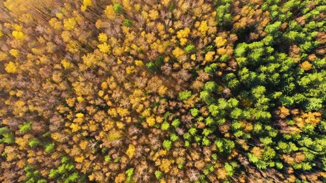 vídeos de stock, filmes e b-roll de cores coloridas de outono em forma de floresta acima, capturado com um drone - bétula