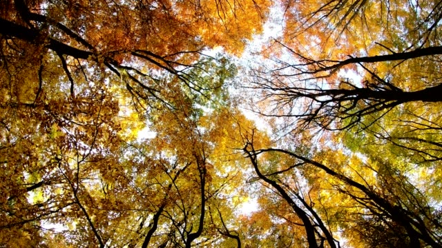 Colourful deciduous forest in autumn with sunlight, rotating from bottom to top, 4K