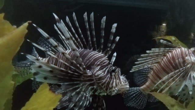 Colourful Lion-Fish with Dangerous Spines Moving Slowly from Left to Right. video