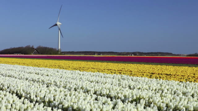 Colourful tulip fields in The Netherlands on a sunny day video