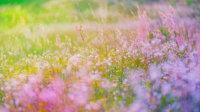 Champ de floraison colorée - Vidéo