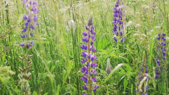 vídeos de stock e filmes b-roll de colourfull flowering field - granadilha