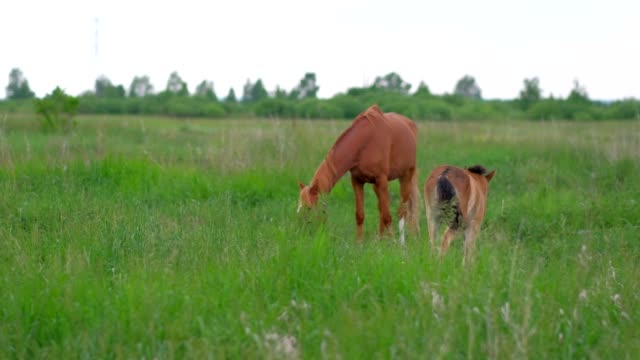Colt horse grazing in nature