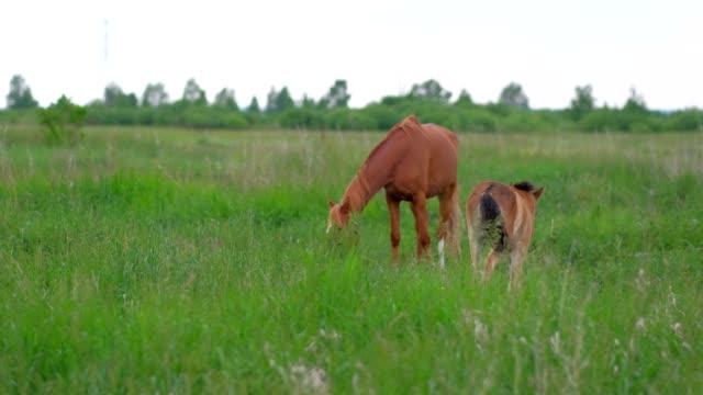 colt horse grazing in nature - cavalla video stock e b–roll