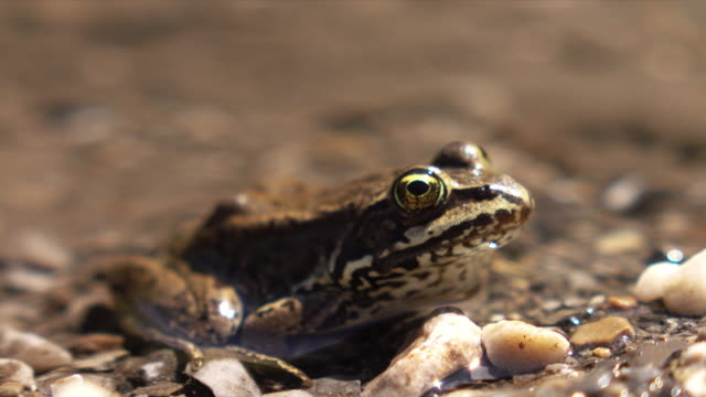 Columbia Spotted Frog A macro look at a Columbia Spotted Frog. amphibian stock videos & royalty-free footage