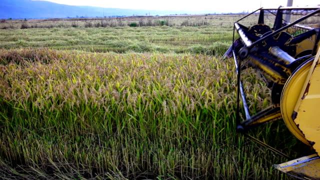 kombinera blad skörden vete, ris, råg, sony 4k steadycam skjuta - ris spannmålsväxt bildbanksvideor och videomaterial från bakom kulisserna