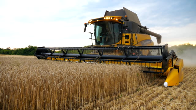 combine gathering crop of ripe wheat in countryside. harvester slowly riding through field cutting stalks of barley at evening time. concept of food industry or harvesting. slow motion close up - trattore video stock e b–roll