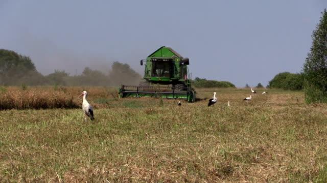 Combine harvest dry pea plants and stork birds video