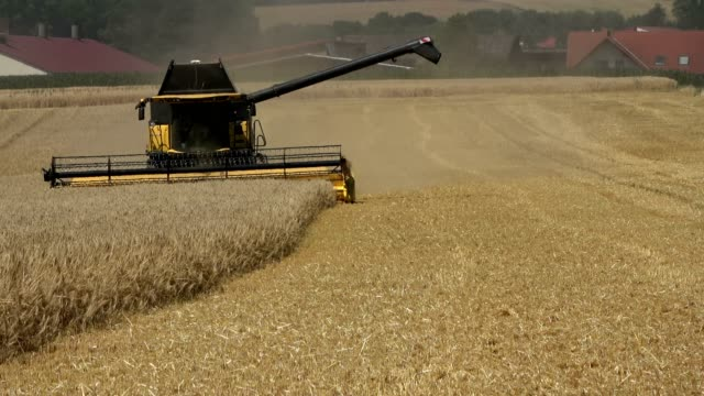 vídeos y material grabado en eventos de stock de segadora en la cosecha del trigo, campo de trigo de invierno, triticum, maizal, agricultura - cosechar