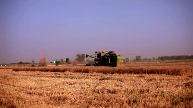 Combine harvester during wheat harvesting video
