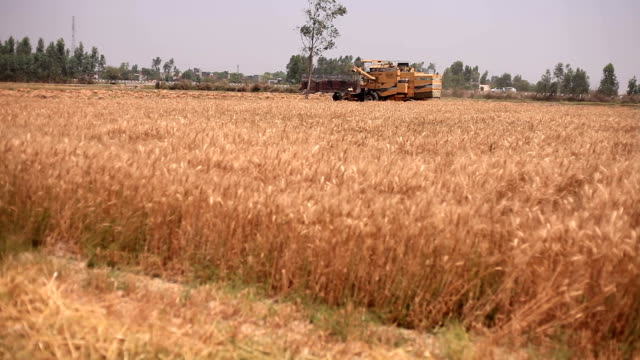combine harvester during wheat harvesting - харьяна стоковые видео и кадры b-roll