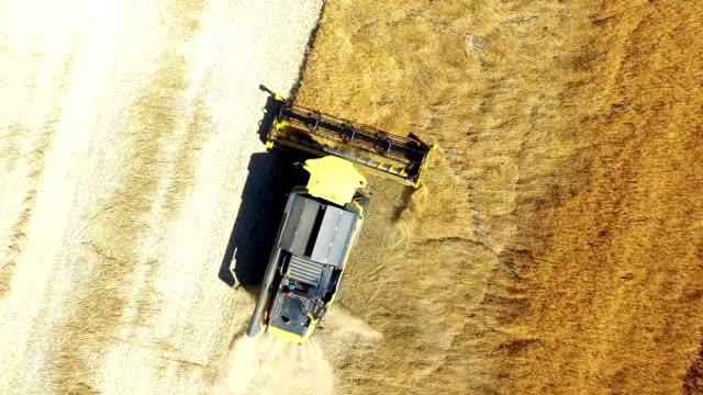 Combine harvester harvesting of oilseed rape field. video