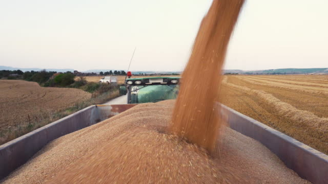 Combine harvester loading grain into a truck trailer. Pouring wheat grain into tractor trailer after harvest at field.