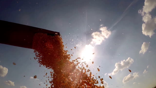 Combine Harvester Pouring Corn Grains video