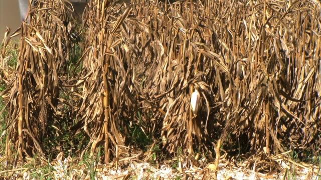 Combine Harvesting Corn 01 video