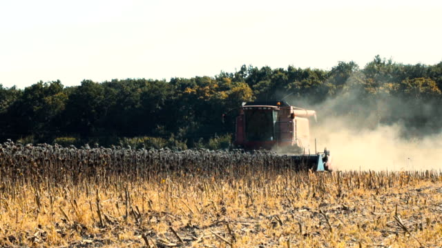 Combine working on a sunflower field. Slow motion video