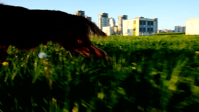 Comic dog running around in the park at sunset. Pet Irish setter moves funny paws, slow motion Comic dog running around in the park at sunset. Pet Irish setter moves funny paws, slow motion. irish setter stock videos & royalty-free footage