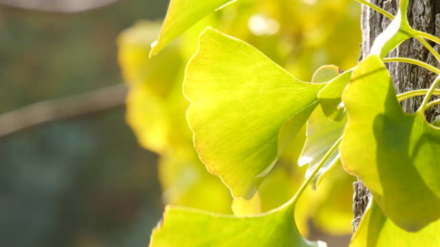 Coming Autumn with ginkgo leaves at tree in close Coming Autumn with ginkgo leaves at tree in close ginkgo tree stock videos & royalty-free footage