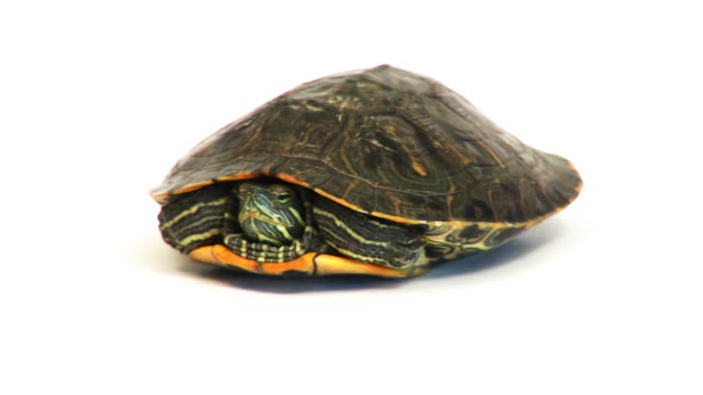 Coming Out Of Your Shell A turtle hiding in its shell and coming back out again. animal shell stock videos & royalty-free footage
