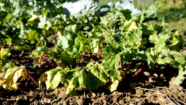 Common beet seedbed in the homemade garden in HD