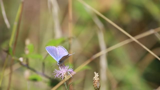 Common blue butterfly ( Polyommatus icarus )