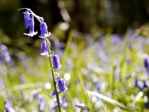 vídeos de stock, filmes e b-roll de bluebell comum-hyacinthoides não scripta - flor temperada
