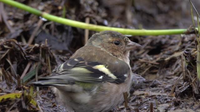 Common chaffinch (Fringilla coelebs) in Karelia