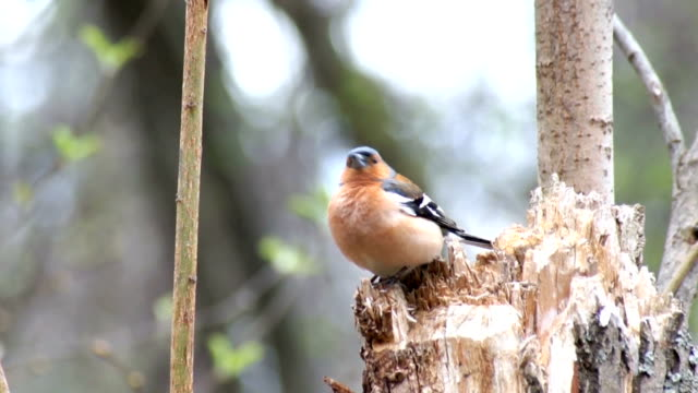 Common Chaffinch video